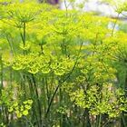 Fennel 200 Seeds 50  off sale