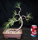 Japanese Black Pine Wired  Twisted JBP 106