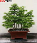 15 Seeds Golden Larch Pseudolarix Amabilis Bonsai Tree