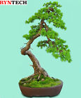 15 Seeds Larix Decidua European Larch Bonsai Tree