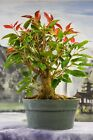 Beautiful RED LEAF FIG Pre Bonsai with Red New Growth