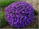 50+ Purple rock Cress Aubrieta Flower Seeds / Perennial