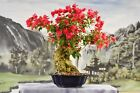Gorgeous RED BOUGAINVILLEA Bonsai Tree