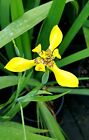 3 Rooted Fortnight Lily African Iris Dietes Bicolor plant bareroot bulb