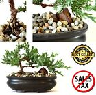 Juniper Bonsai Tree Live Japanese Little Pot Zen Indoor Decoration