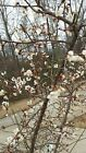 Lot of 5 Last of the Season  Japanese flowering apricot cuttings well rooted