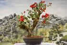 Gorgeous Flowering RED BOUGAINVILLEA Finished Bonsai Tree blooms year round