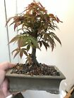 Bonsai red lace leaf Japanese maple great movement 11 years old shohin mame nr