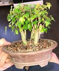 Dwarf Shohin Mame Trident Maples Bonsai Tree like Japanese Maple grouping rare