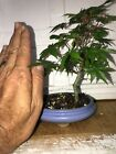 Bonsai green lace leaf Japanese maple great movement 10 years old shohin mame nr