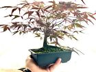 Pre Bonsai Shohin Japanese Maple red leaf