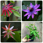 Red Purple and Pink passiflora passion flower starter plants Set of 3 plants