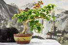 Vibrant Flowering RED BOUGAINVILLEA Bonsai Tree that blooms profusely