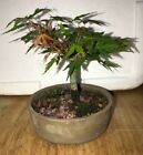 Bonsai Japanese cork bark corkbark Maple shohin mame unsusal leaf coloring 15 yr