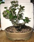 cork bark bonsai coastal live oak 41 years old shohin mame yamadori collected
