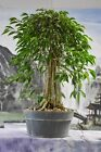Awesome FICUS PHILIPPINENSIS Pre Bonsai produces aerial roots