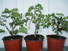 Bonsai trees Campeche Haematoxylum campechianum tropical plant lot of 3
