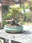 Bonsai Japanese Maple Cork BARK great movement 27 years shohin mame corkbark