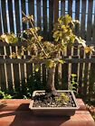 13 Bonsai Tree Trident Maple Acer Burgeranium Maple