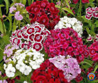 1000 Mixed Sweet William Pinks Dianthus Flower Seeds w Gift COMB S H