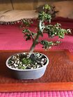 7 Shohin Bonsai Tree Japanese Maple Shishigashira Lionshead Maple