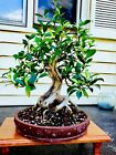 Bonsai Ficus Microcarpa Great Nebari And Perfect Taper