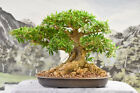 Beautiful WILLOW LEAF FICUS Bonsai with an INCREDIBLE nebari and aerial roots