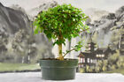 Beautiful Flowering PARROTS BEAK Gmelina Pre Bonsai Tree