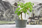 African Style BRAZILIAN RAINTREE Pre Bonsai Tree
