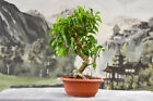 Awesome FICUS RIANNE Pre Bonsai Tree