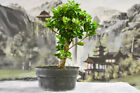 Banyan Ficus GREEN GEM Pre Bonsai produces aerial roots