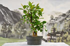 Twin Trunk Banyan style PORT JACKSON FIG Pre Bonsai Tree