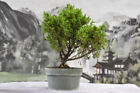 Cold Hardy SHIMPAKU JUNIPER Pre Bonsai Tree
