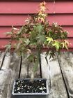Informal Upright Green Japanese Maple 16 Bonsai Tree