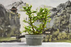 Gorgeous Flowering SINGAPORE HOLLY Pre Bonsai Tree produces cherries