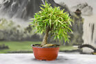 Beautiful Shohin WILLOW LEAF FICUS Pre Bonsai great for beginners