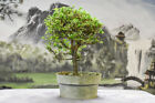 Lovely PREMNA Pre Bonsai Tree with a great shape