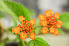 Gorgeous Shohin Yellow  Orange Flowering LANTANA Collected Pre Bonsai Tree