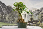 Awesome FICUS PHILIPPINENSIS Root over Rock Pre Bonsai Tree