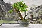 Collected BUTTONWOOD Pre Bonsai Tree with large trunk Ready for design