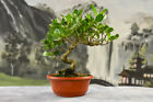 Gorgeous Twisted Trunk BUTTONWOOD Pre Bonsai Tree