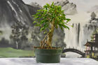 Awesome FICUS PHILIPPINENSIS Pre Bonsai Tree is great for beginners