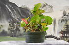 SEA GRAPE Pre Bonsai Tree produces fruit and orange red new growth