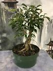 FICUS PHILIPPINENSIS Pre Bonsai Tree with lots of aerial roots Great For Banyan