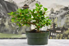 Lovely GREEN ISLAND FICUS Pre Bonsai Tree produces lots of aerial roots