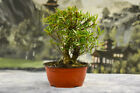 Beautiful Shohin WILLOW LEAF FICUS Pre Bonsai Tree with Twin Trunks
