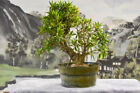 Large WILLOW LEAF FICUS Pre Bonsai Tree with an Awesome Nebari