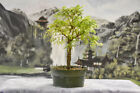 Beautiful RABBITS FOOT ACACIA Pre Bonsai Tree with great bark