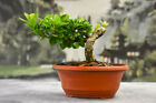 Twisted Trunk Shohin Banyan GREEN GEM Pre Bonsai Tree produces aerial roots