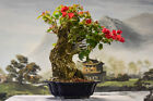 Gorgeous Flowering RED BOUGAINVILLEA Bonsai Tree Flowers year round